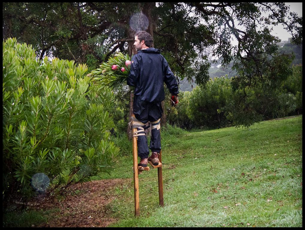 Stilt-walking flower picking, in the rain.