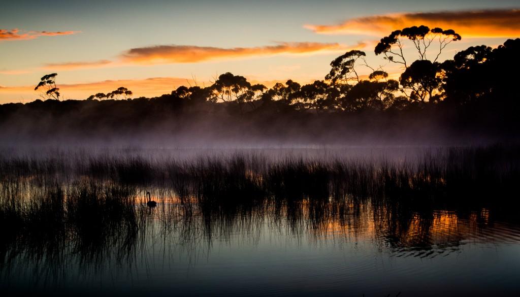 Black Swan- Montebello Lagoon. Kangaroo Island