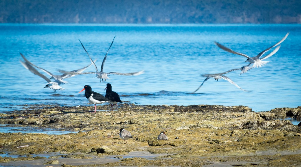 Oystercatchers, Terns and the endangered Hooded Plover hanging out together on Baudin Beach, Kangaroo Island